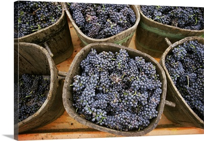 Harvested grapes, St. Joseph, Ardeche, Rhone Alpes, France, Europe