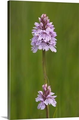 Heath spotted orchid, Grasspoint, Mull, Inner Hebrides, Scotland, UK