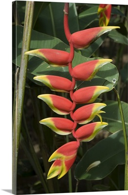 Heliconia flower, Costa Rica, Central America