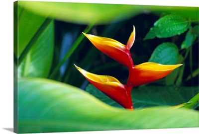 Heliconia flower, tropical rainforest, Dominica, Caribbean