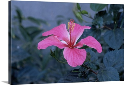 Hibiscus flower from His Highness's hibiscus garden, Udai Vilas Palace, Dungarpur, India