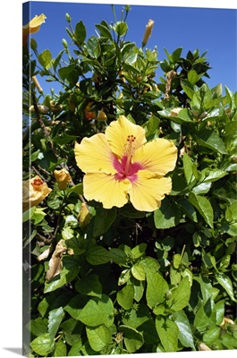 Hibiscus flowers, Hotel Tecini, Santiago, La Gomera, Canary Islands, Spain