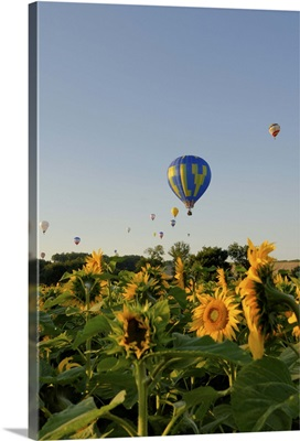 Hot air ballooning over fields of sunflowers in the early morning, Charente, France