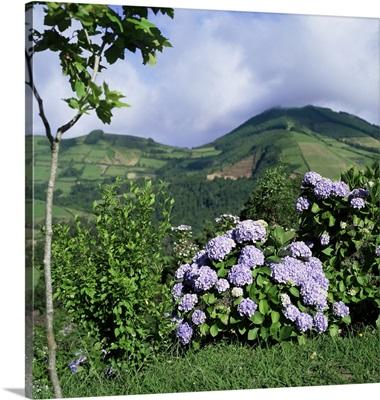 Hydrangeas in bloom, island of Sao Miguel, Azores, Portugal, Europe