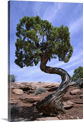 Juniper tree with curved trunk, Canyonlands National Park, Utah
