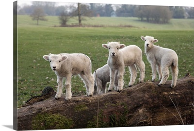 Lambs playing on a log in Stourhead parkland, South Somerset, Somerset, England