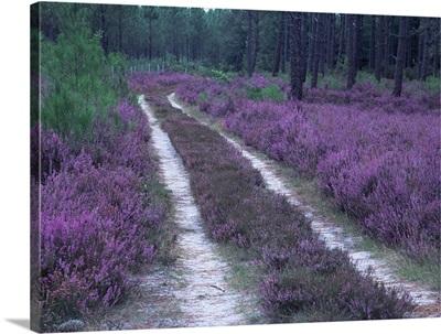 Landes forest, Aquitaine, France