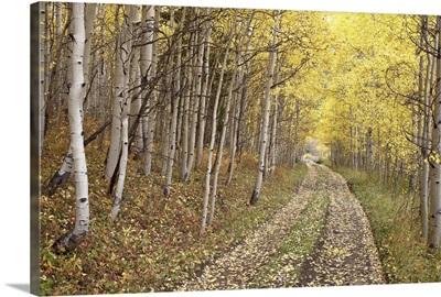 Lane through fall aspens, Ophir Pass, Uncompahgre National Forest, Colorado