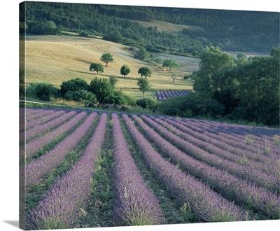 Lavender field near Ferrassieres, Drome, Rhone Alpes, France