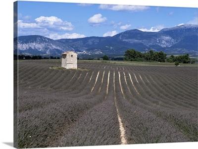 Lavender fields, Plateau de Valesole, Alpes de Haute Provence, Provence, France