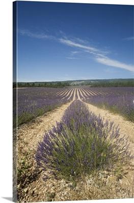 Lavender fields, Sault en Provence, Vaucluse, Provence, France