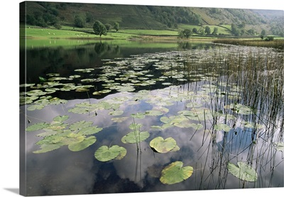 Lily pads, Lake District National Park, Cumbria, Englan