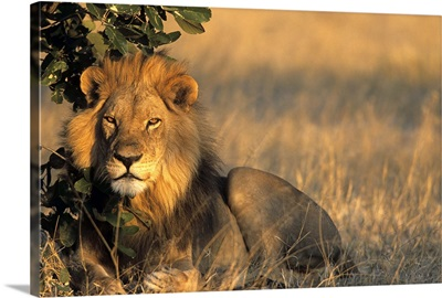 Lion, Chobe National Park, Savuti, Botswana, Africa