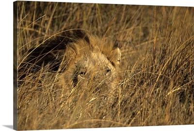 Lion, Moremi Wildlife Reserve, Botswana, Africa