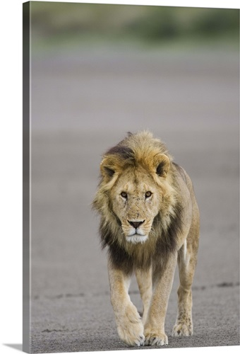 lion walking towards camera serengeti national park tanzania