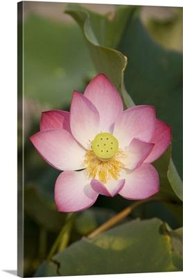 Lotus flower, Beijing, China