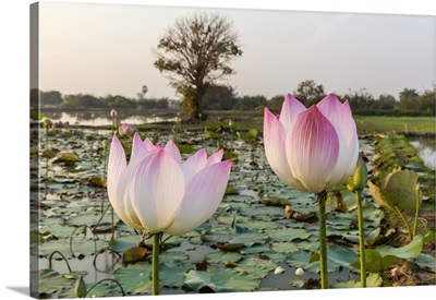 Lotus Flower, Near The Village Of Kampong Tralach, Cambodia, Indochina