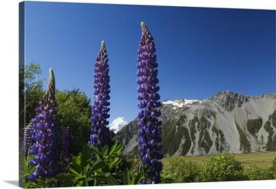 Lupins in flower below Aoraki, Mackenzie Country, South Island, New Zealand