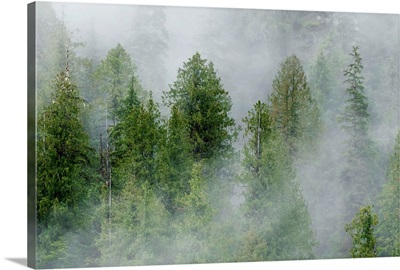 Mist covered pine trees in Great Bear Rainforest, British Columbia, Canada