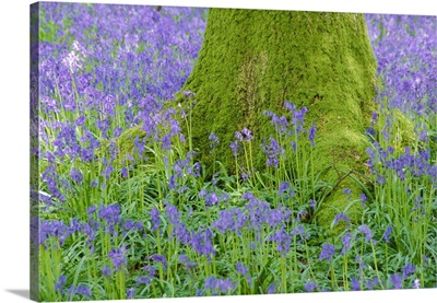 Moss covered base of a tree and bluebells in flower, Bluebell Wood, Hampshire, England