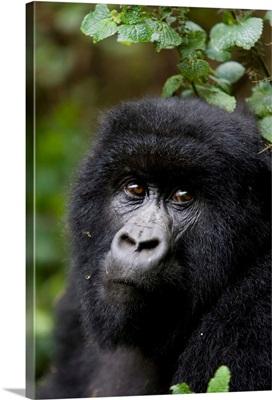 Mountain gorilla, Rwanda (Congo border), Africa