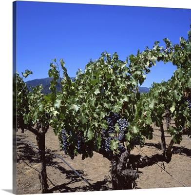 Napa Valley wine producer, Oakville, California