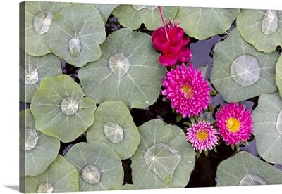 Nasturtium leaves with water droplets, Kalaw, Myanmar