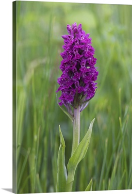 Northern marsh orchid, Craignure, Mull, Inner Hebrides, Scotland, UK