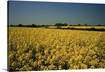 Oil seed rape fields, Essex, England, United Kingdom, Europe
