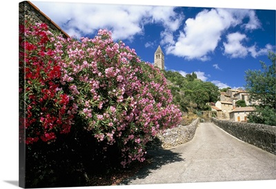 Oleander in flower, Herault, Languedoc-Roussillon, France