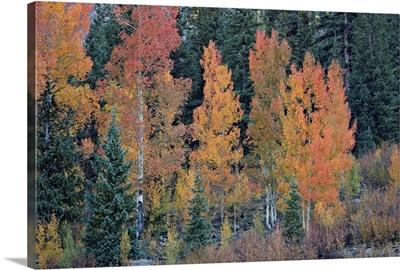 Orange aspens in the fall, San Juan National Forest, Colorado, USA