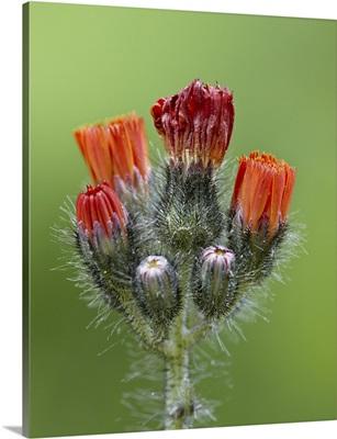 Orange hawkweed, Idaho Panhandle National Forests, Idaho