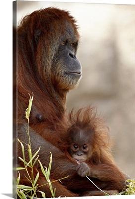 Orangutan mother and baby, Rio Grande Zoo, Albuquerque, New Mexico