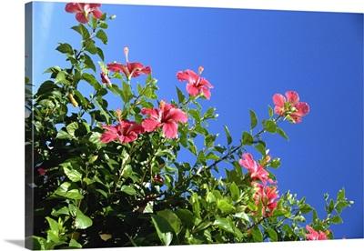 Pink hibiscus flowers, Bermuda, Central America
