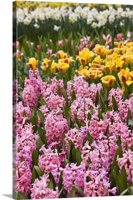 Pink hyacinths, Keukenhof, park and gardens near Amsterdam, Netherlands