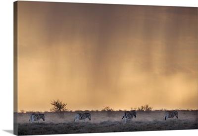 Plains Zebra, At Stormy Sunset, Etosha National Park, Namibia