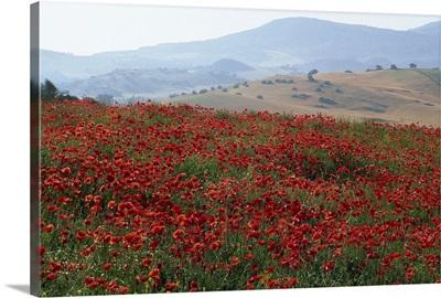 Poppies in rolling landscape, near Olvera, Cadiz, Andalucia, Spain