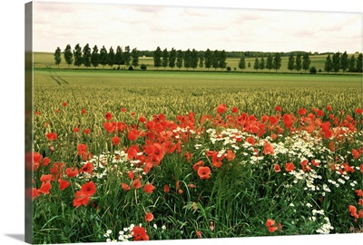 Poppies in the Valley of the Somme near Mons, Nord-Picardy, France, Europe