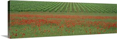 Poppy field and vineyard near Abbazia di San Antimo, Tuscany, Italy
