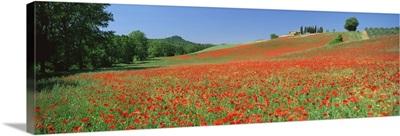 Poppy field near Montechiello, Tuscany, Italy, Europe