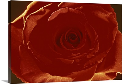 Portrait of a single red rose