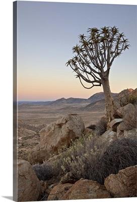 Quiver tree at dawn, Namakwa, Namaqualand, South Africa