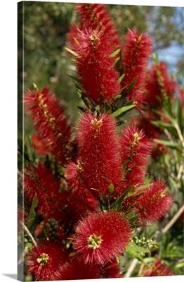 Red flowers of the native bottle brush bush, a wild flower of Australia