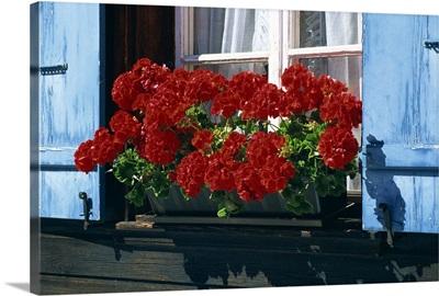 Red geraniums and blue shutters, Bort, Grindelwald, Bern, Switzerland