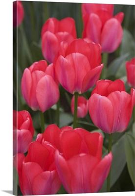 Red tulips, Keukenhof, park and gardens near Amsterdam, Netherlands