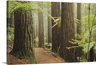 Redwoods and Tree Ferns, The Redwoods, Rotorua, Bay of Plenty, New Zealand