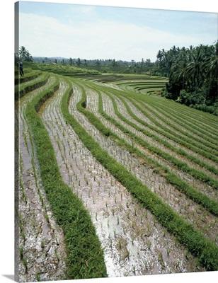 Rice paddy fields, Bali, Indonesia, Southeast Asia