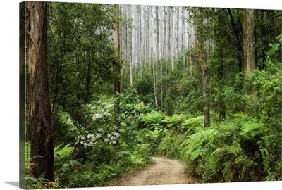 Road through rainforest, Yarra Ranges National Park, Victoria, Australia, Pacific