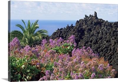 Roadside flowers, La Palma, Canary Islands, Spain, Europe