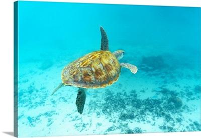 Sea turtle floating underwater over coral reef, Mauritius, Indian Ocean, Africa